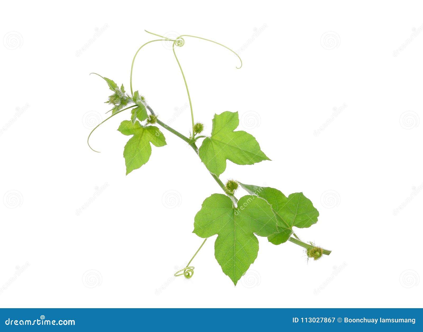 Зеленые лист изолята заводов лозы на белизне