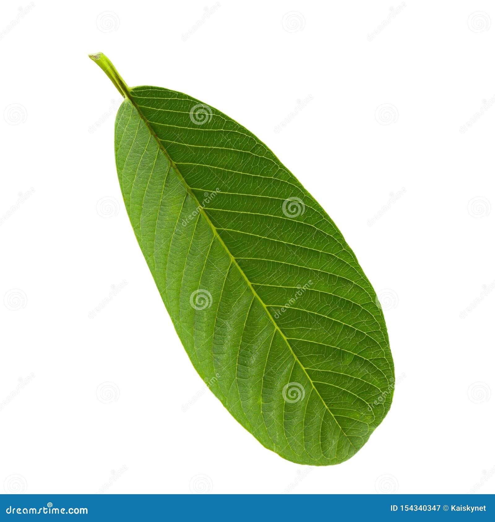 Зеленые лист Guava изолированные над белой предпосылкой