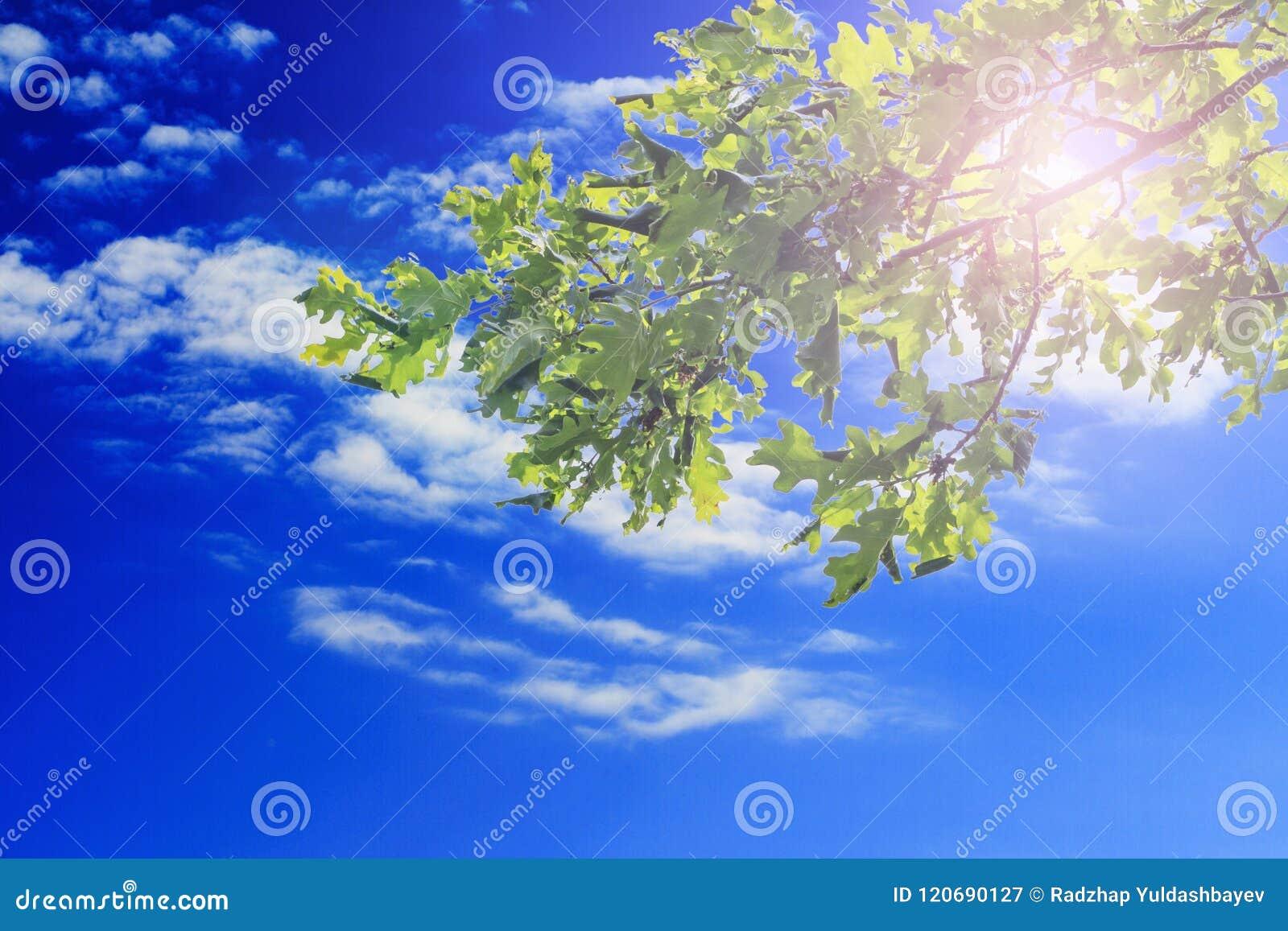 Зеленый дуб выходит против голубого неба с облаками и солнечным светом скопируйте космос