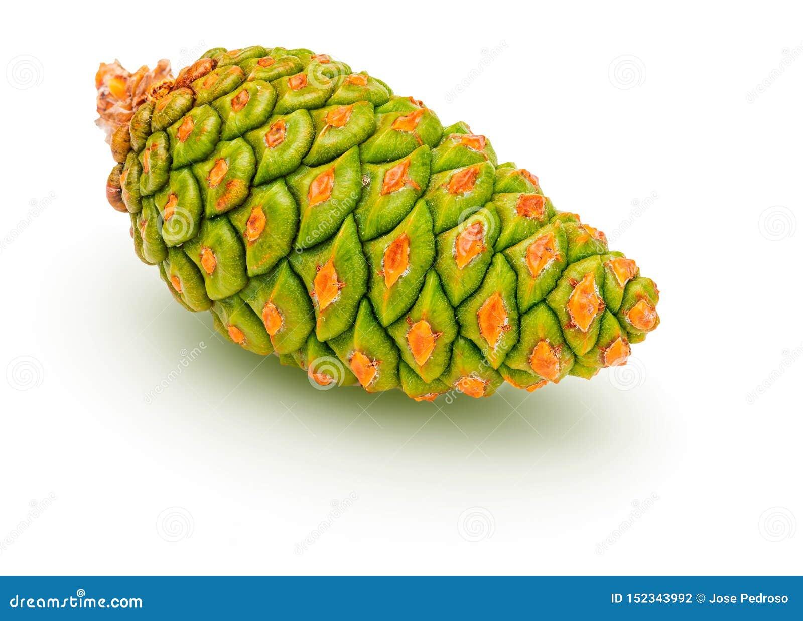 Зеленый конус дикого Pinus Silvestris l сосны