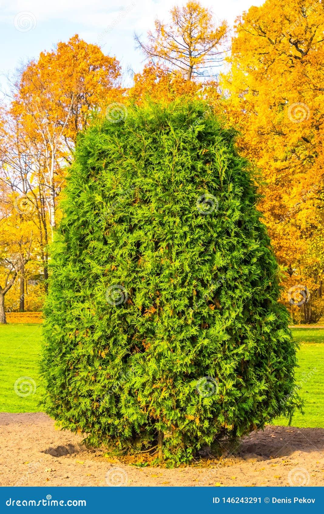 Зеленый куст