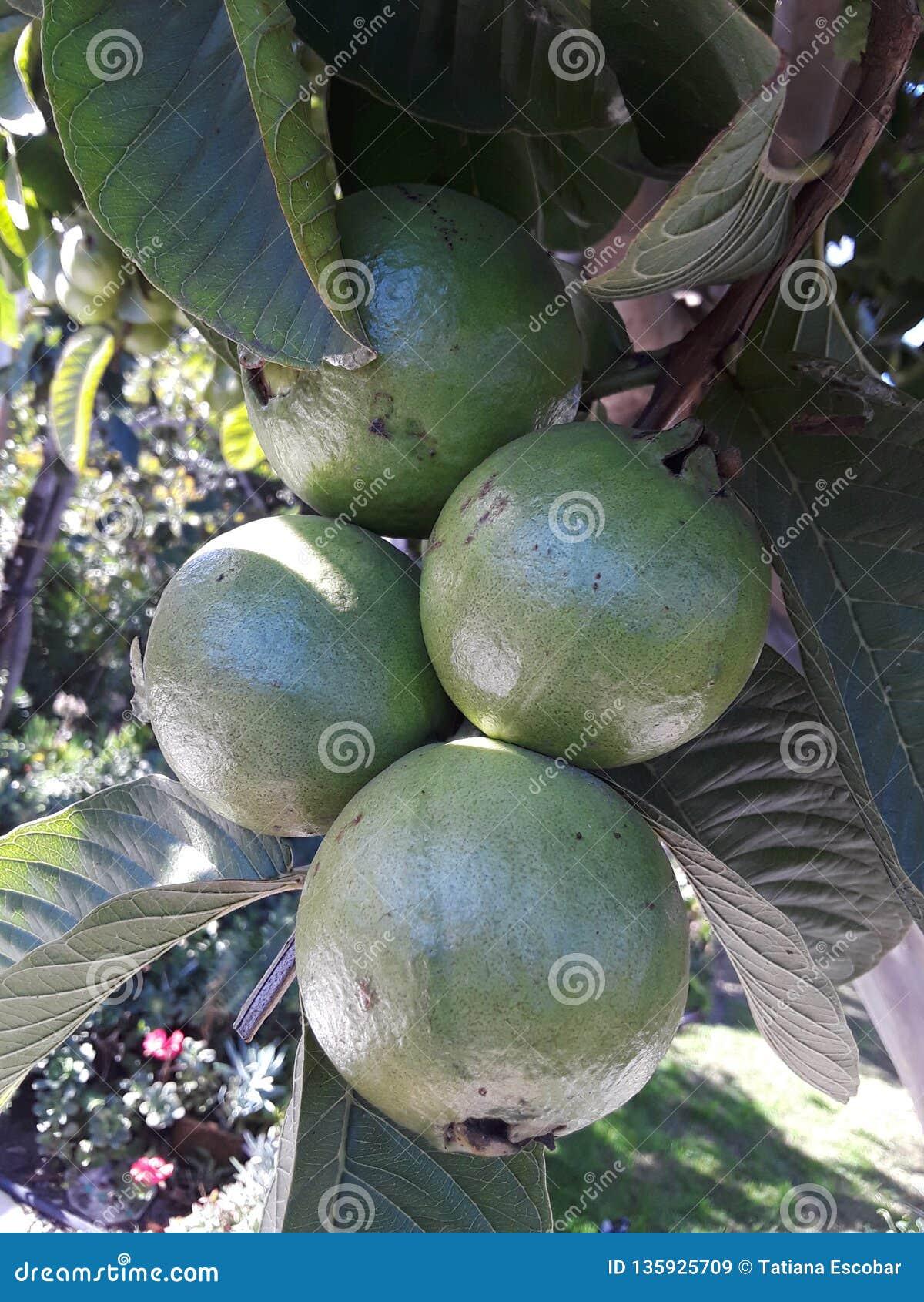 Зеленый пук плодов guava вися на дереве