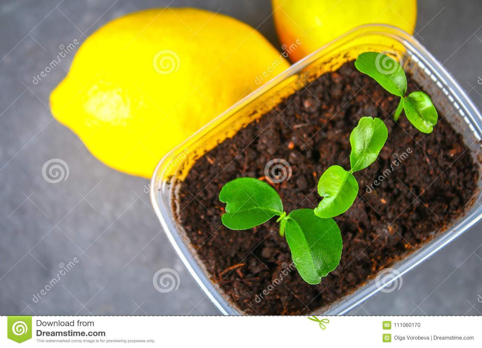 росток лимона фото