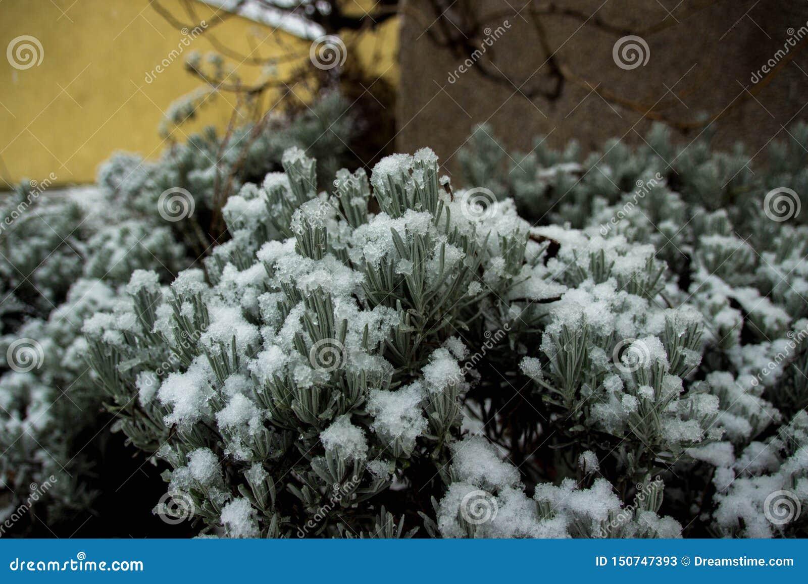 Зеленый цвет Буша под зимой снега