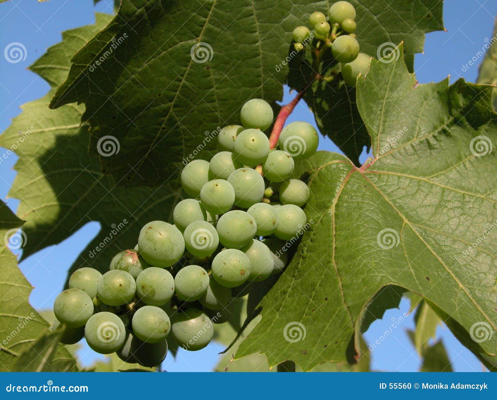 зеленый цвет виноградины