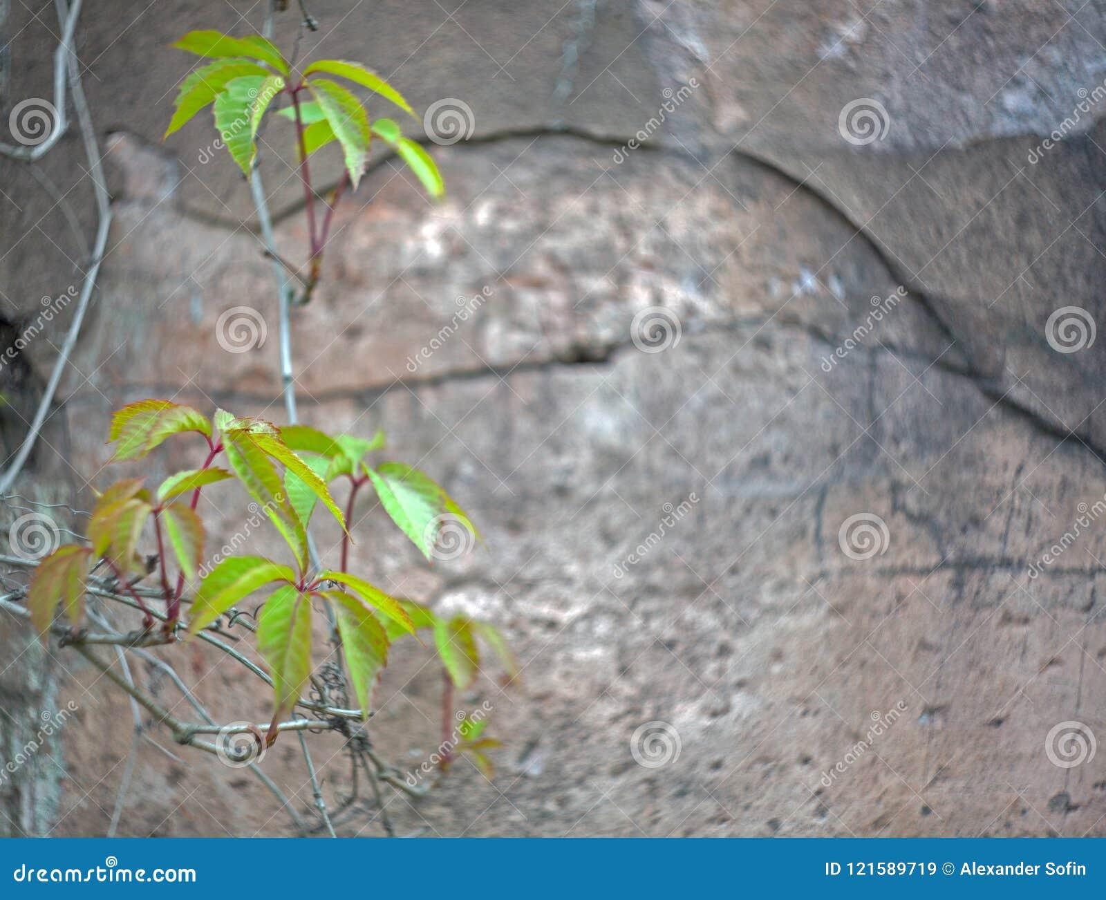 Зеленый цвет выходит на предпосылку старой треснутой стены