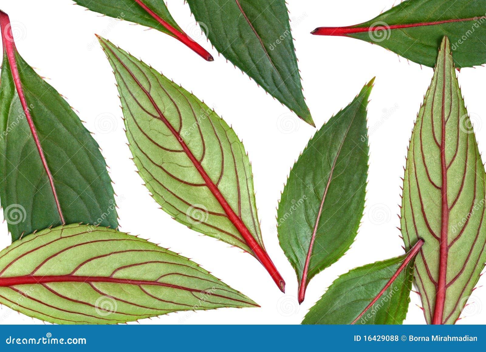 зеленый цвет изолировал листья красные