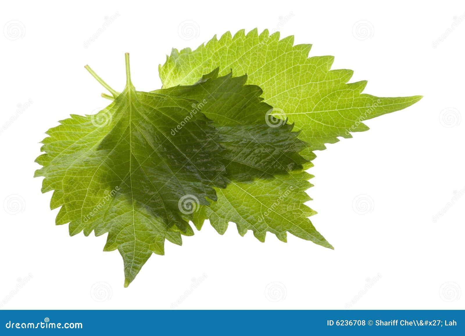 зеленый цвет изолировал perilla листьев