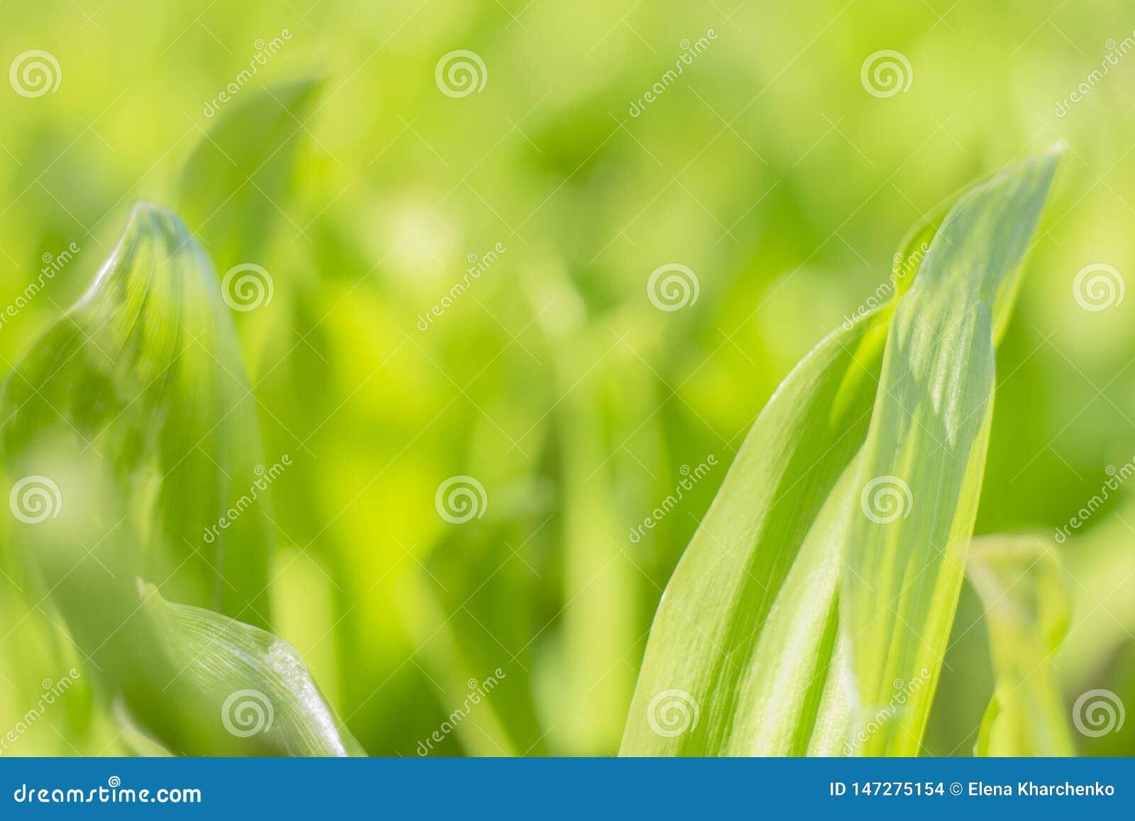 Зеленый цвет текстуры предпосылки выходит трава с запачканной предпосылкой