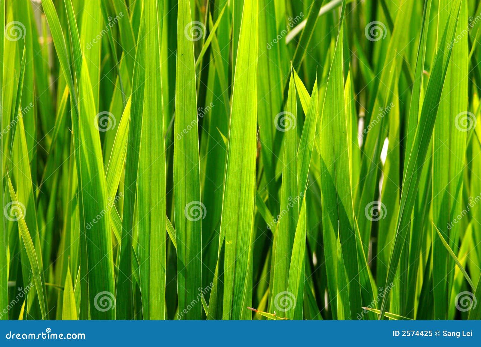 зеленый цвет травы прорастания