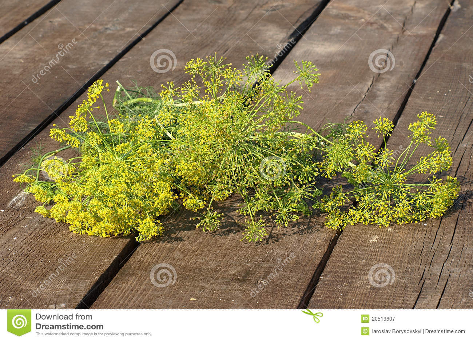 зеленый цвет укропа пука