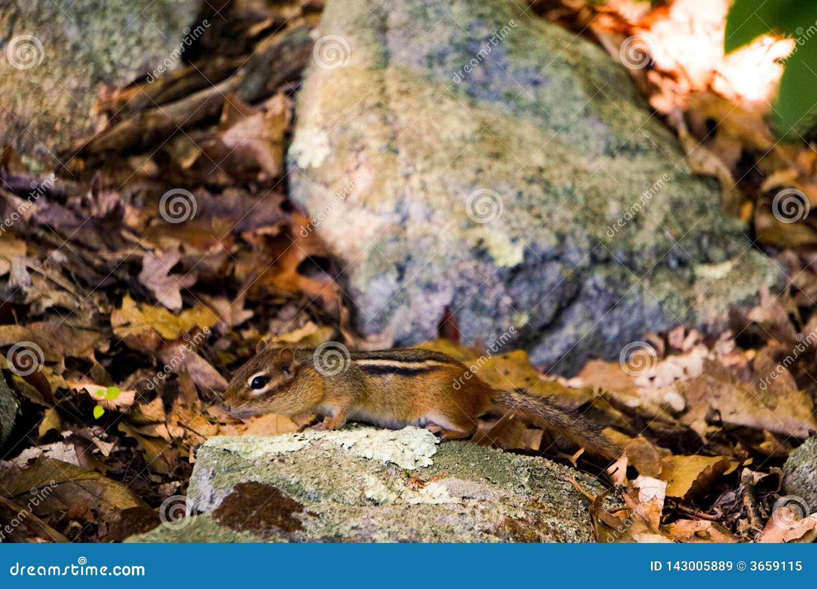 Земл-белка Chipmuck между желтыми листьями и утесами с некоторыми яркими ыми-зелен свежими чертенятами Весна closeup