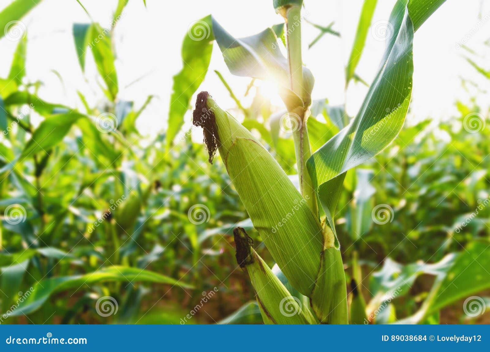 Земледелие мозоли green nature Сельское поле на сельскохозяйственном угодье в summ