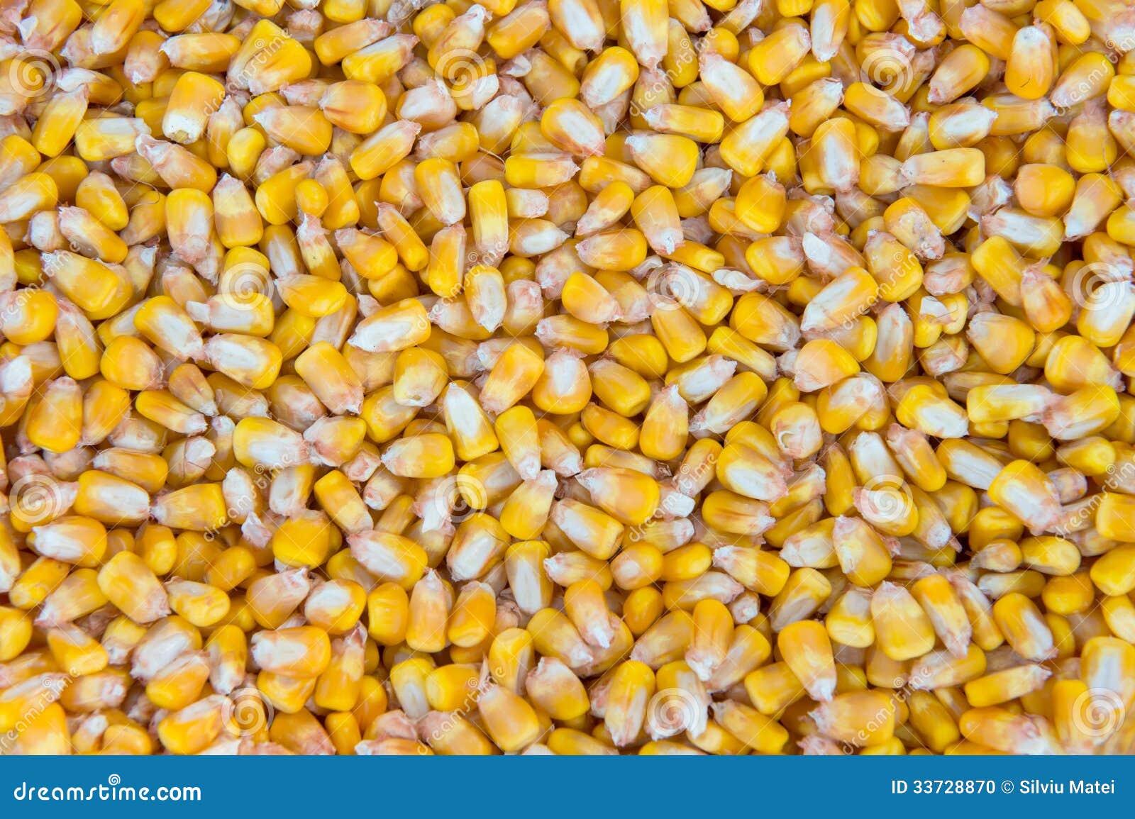 Зерна маиса внутри конц-поднимают