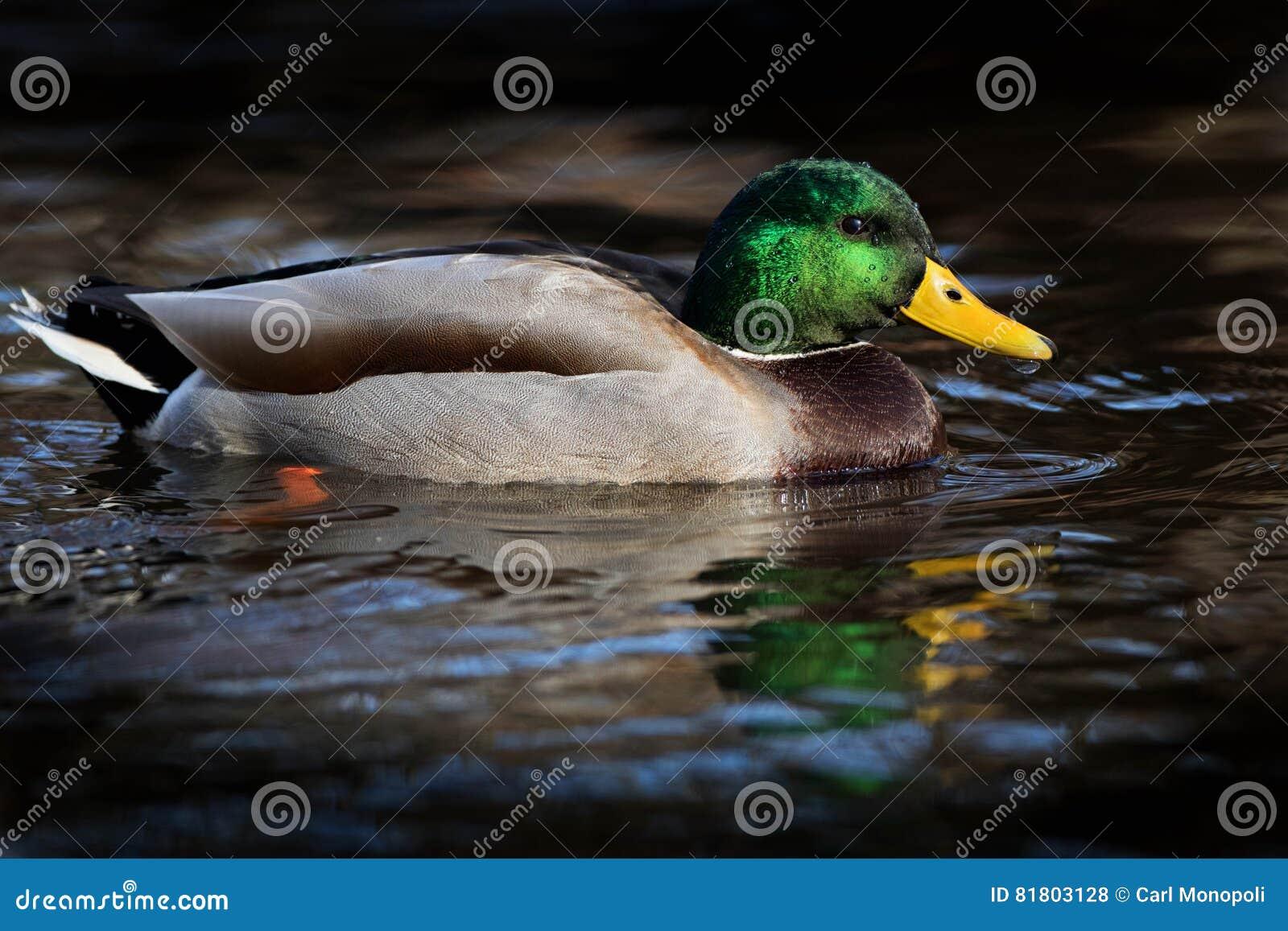 Зеленая вспышка Drake кряквы