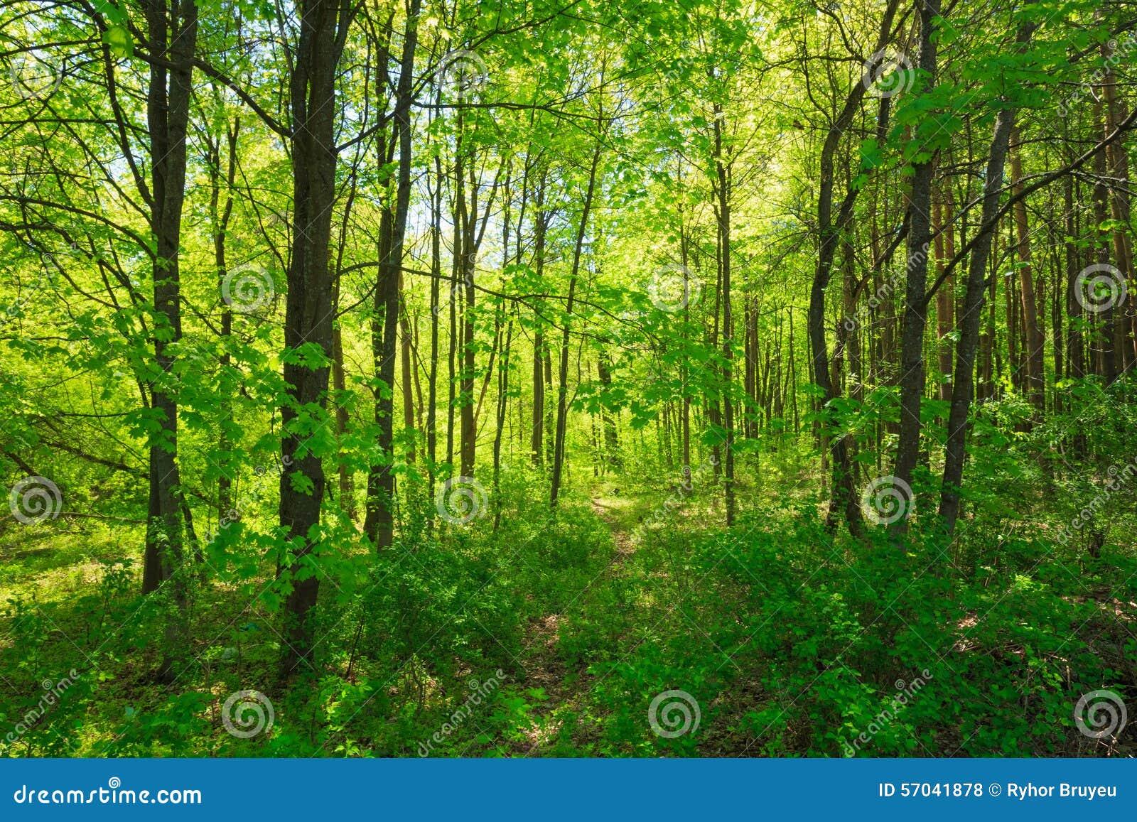 Зеленая природа лета лиственного леса солнечные валы