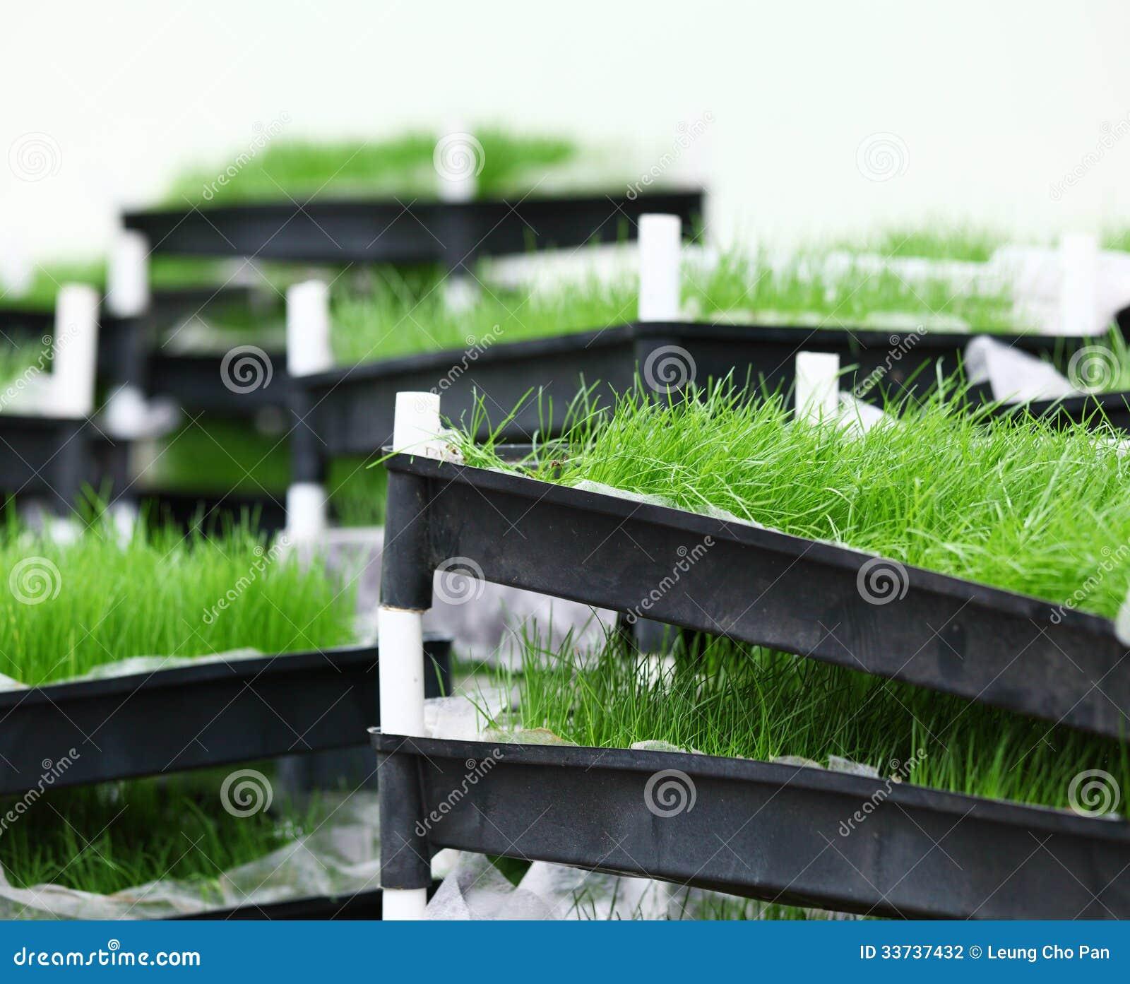 Зеленая трава в подносе