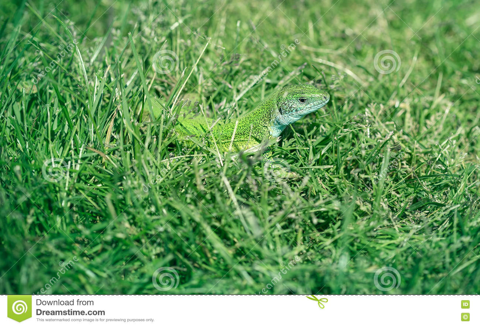 Зеленая ящерица в траве, поглощая жару солнца