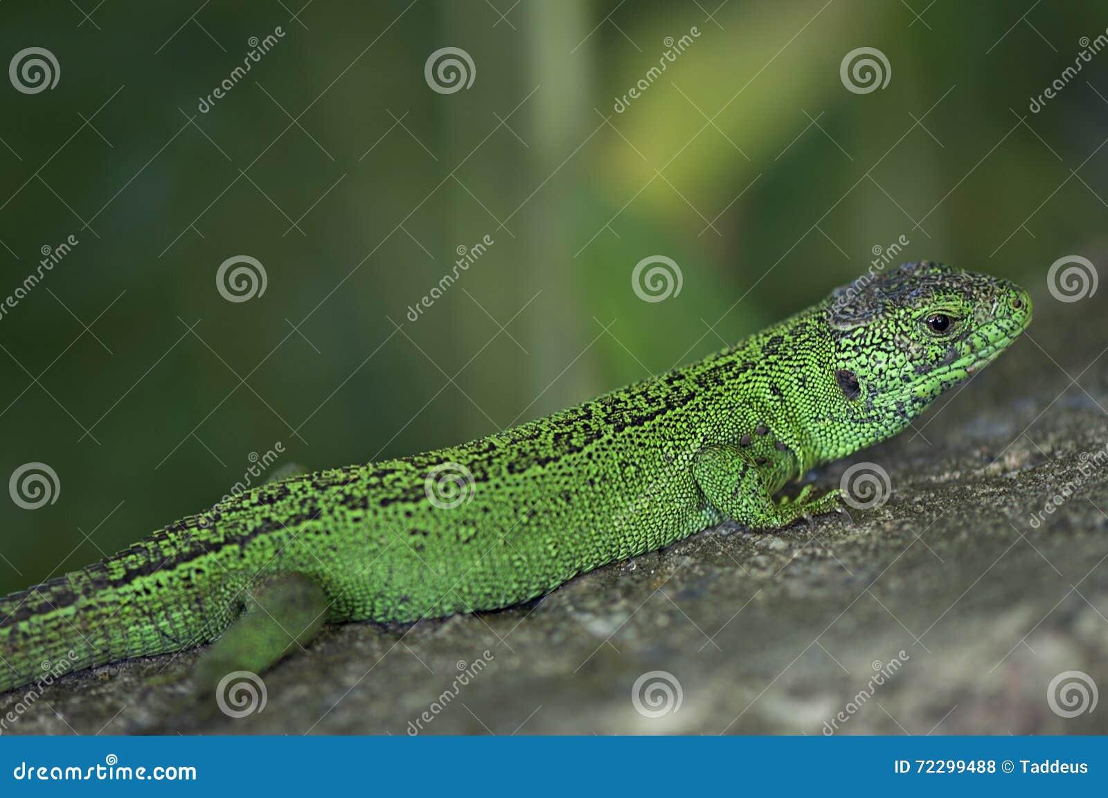 Download Зеленая ящерица на камне стоковое фото. изображение насчитывающей опасность - 72299488