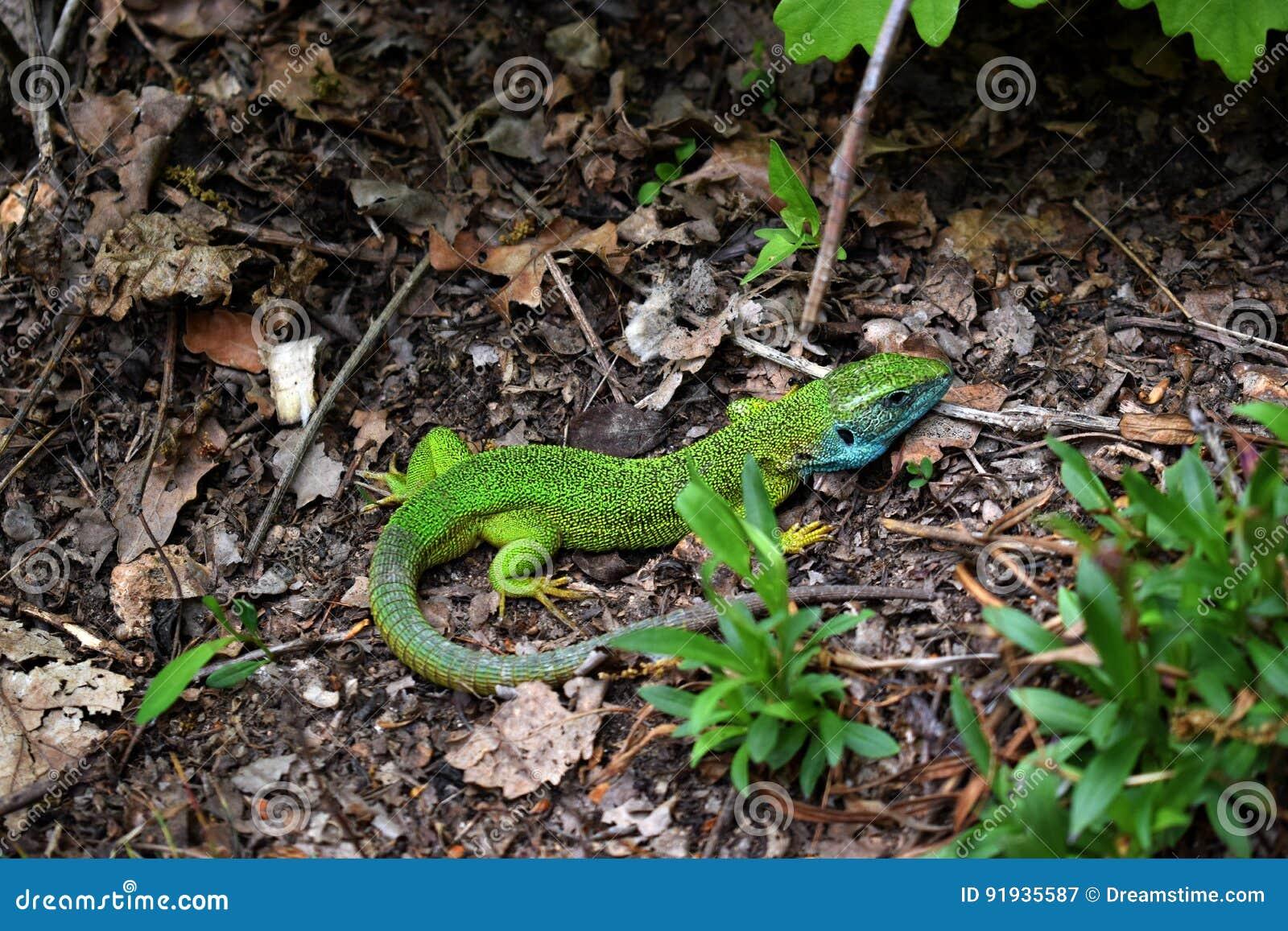Зеленая ящерица