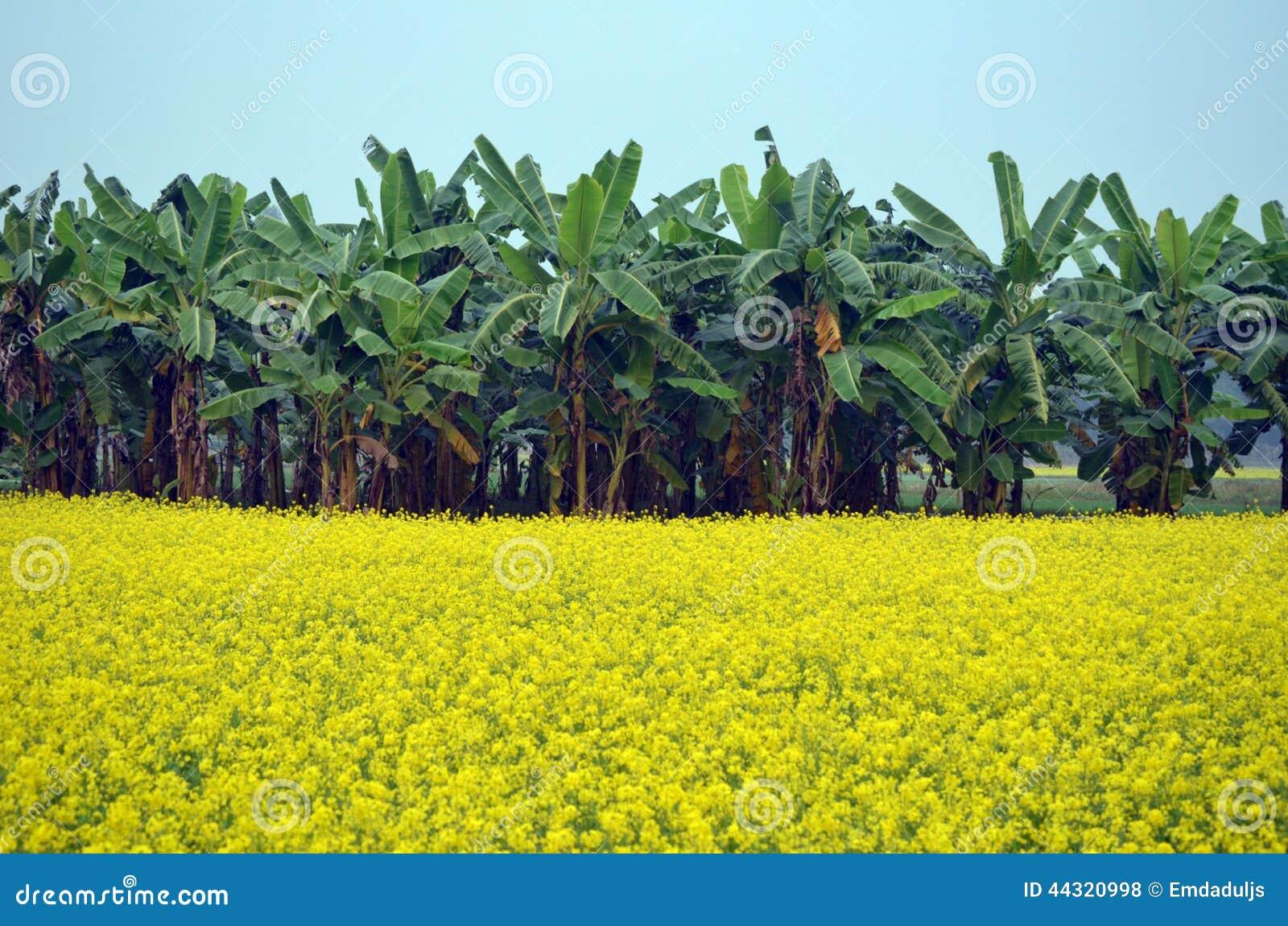 как выглядит банановое дерево фото