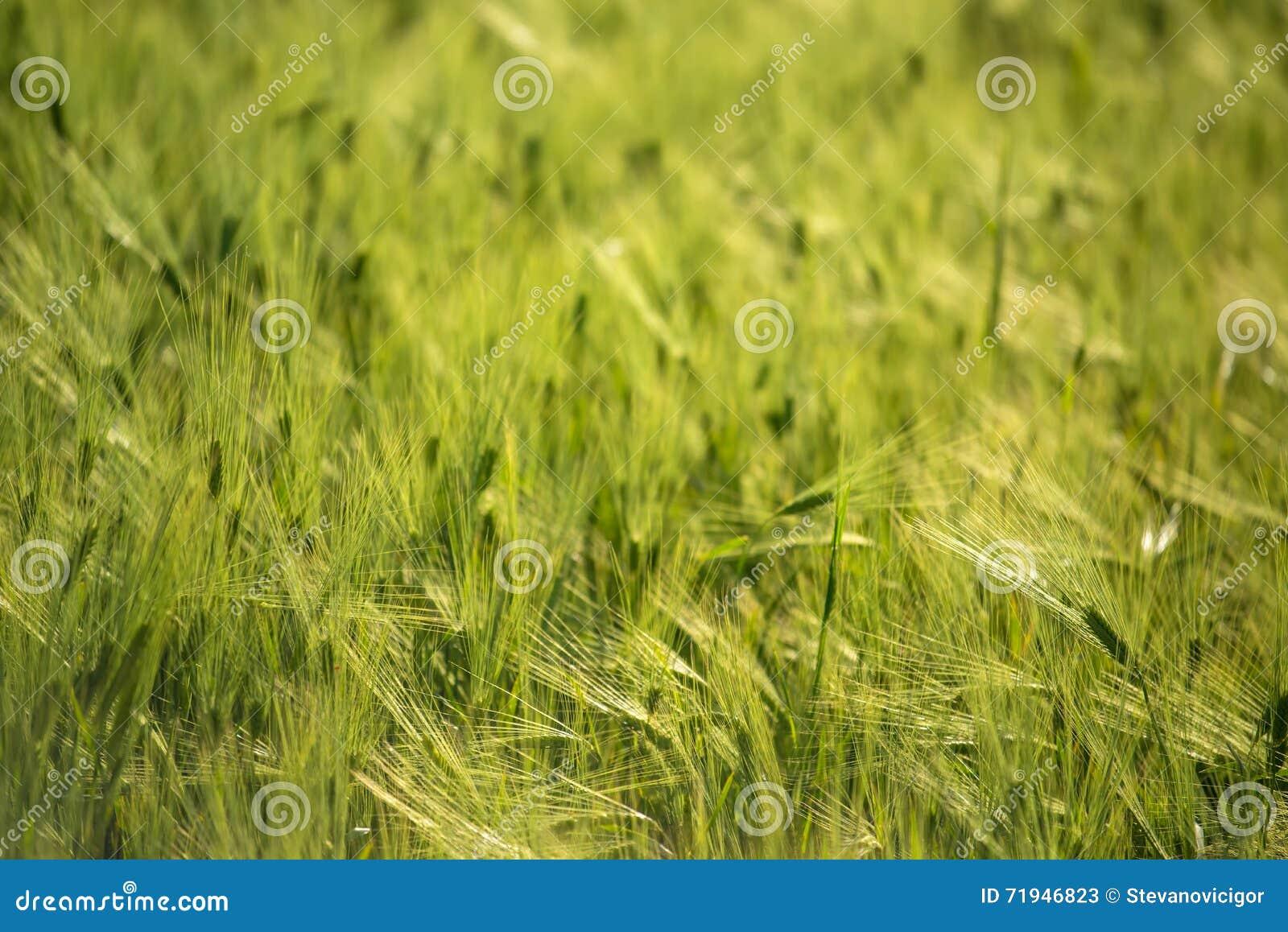 Зеленое поле ячменя