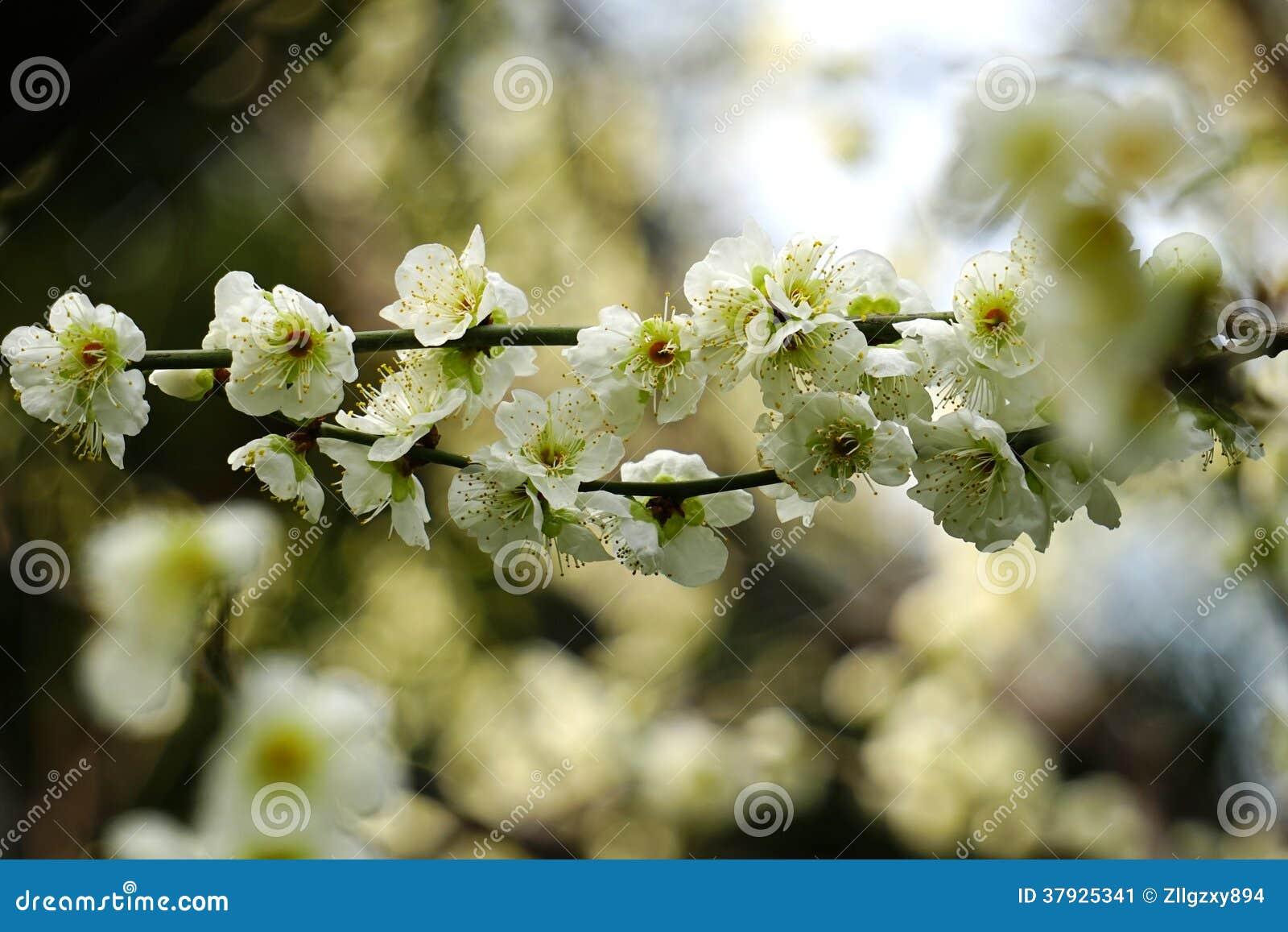 Зеленое цветение сливы