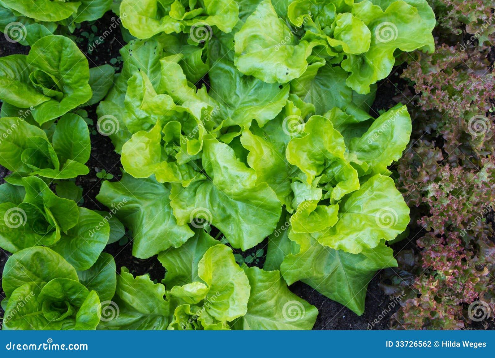 Зеленое salat