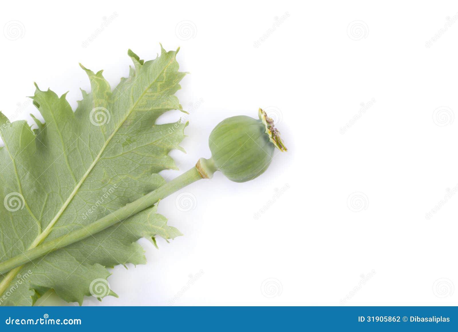 фото листья мака