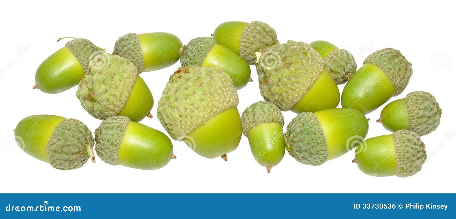 Зеленые жолуди дуба