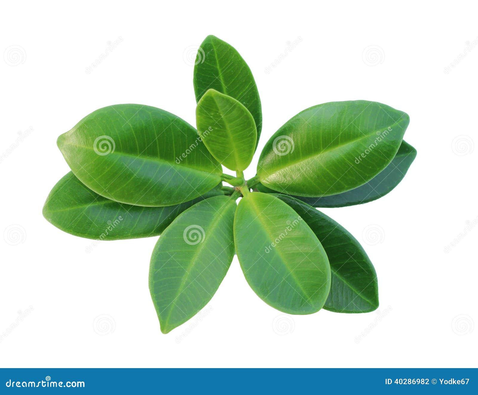 Зеленые изолированные лист