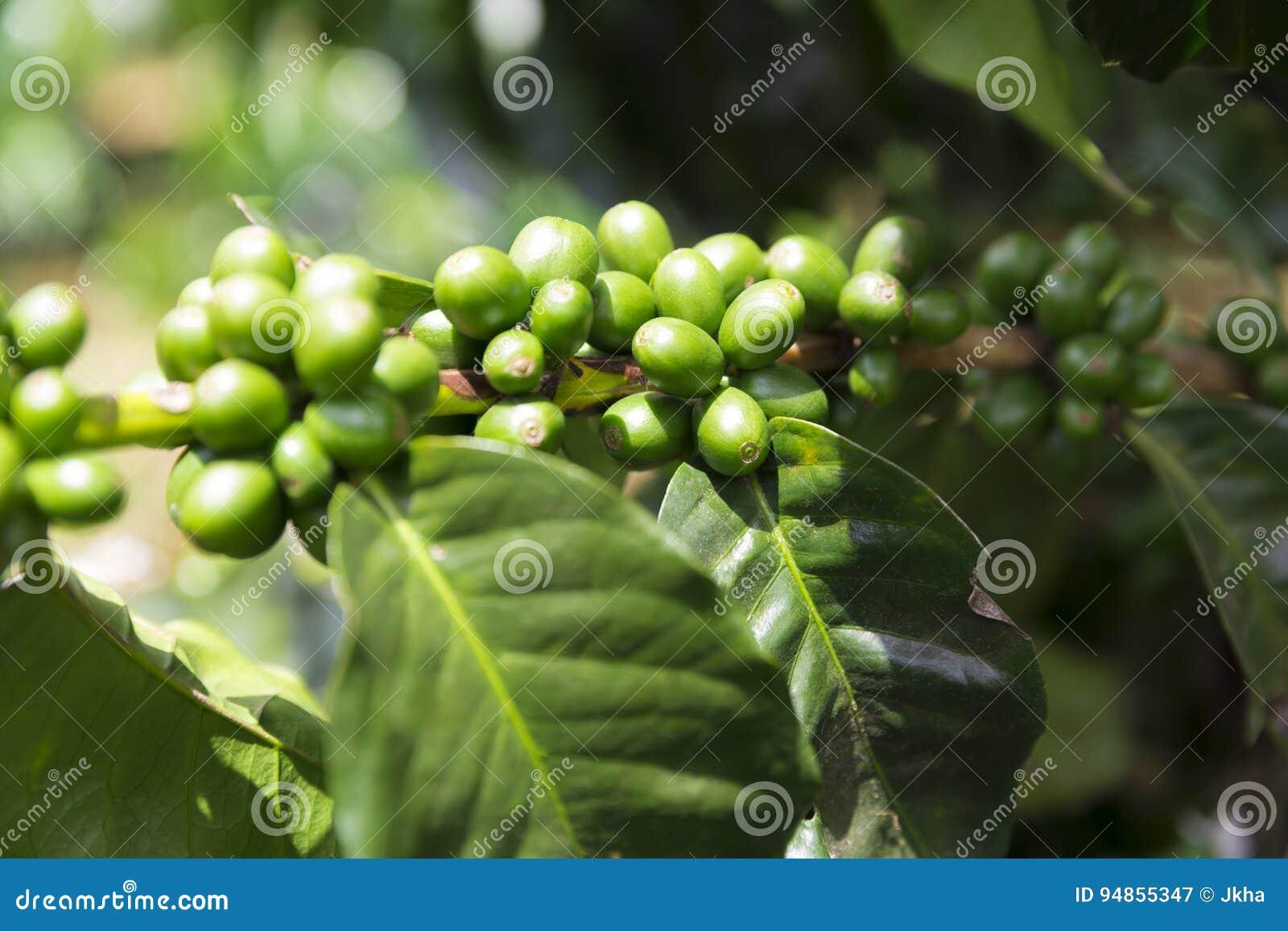 Зеленые кофейные зерна на ветви