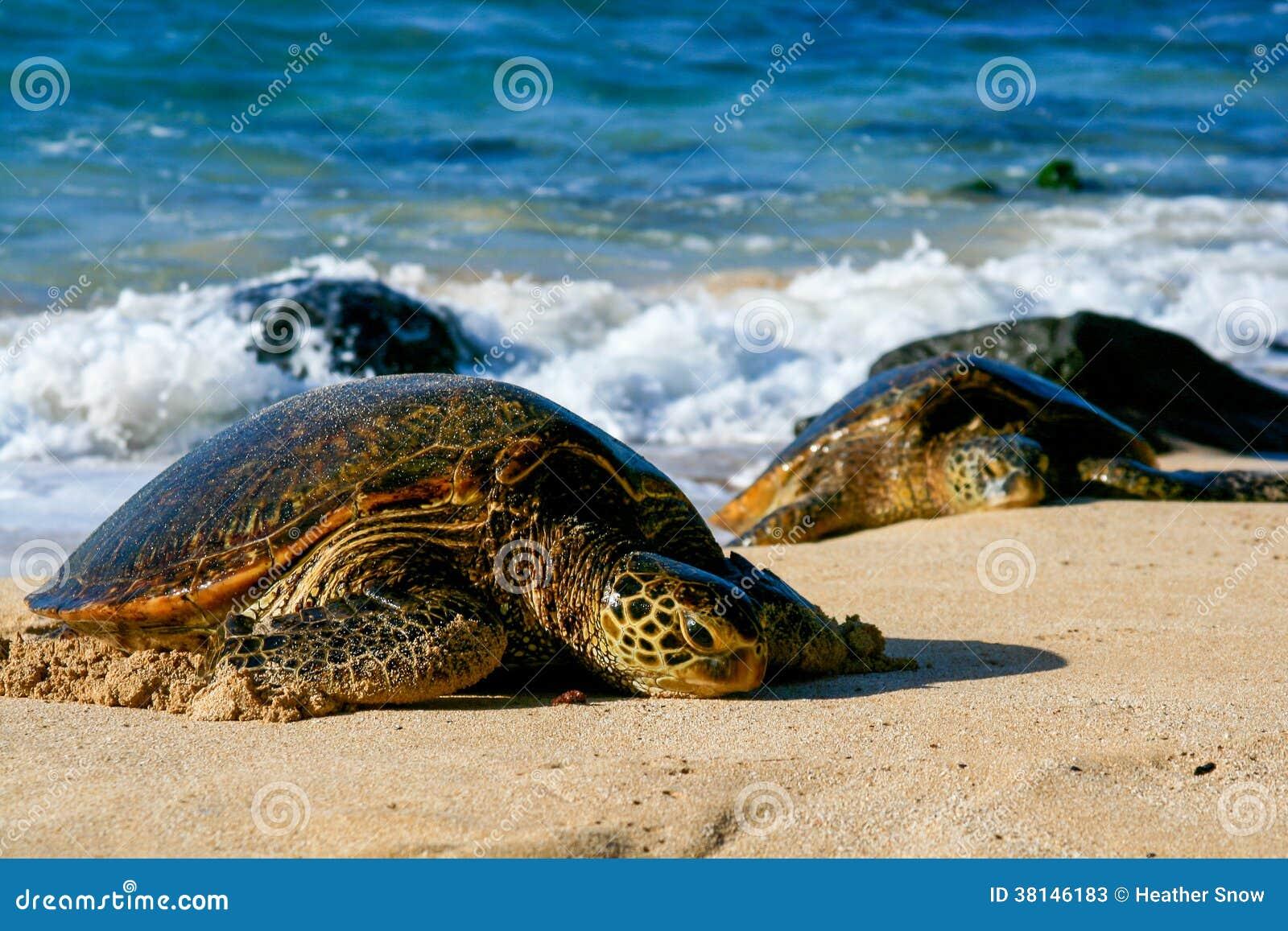 Зеленые морские черепахи