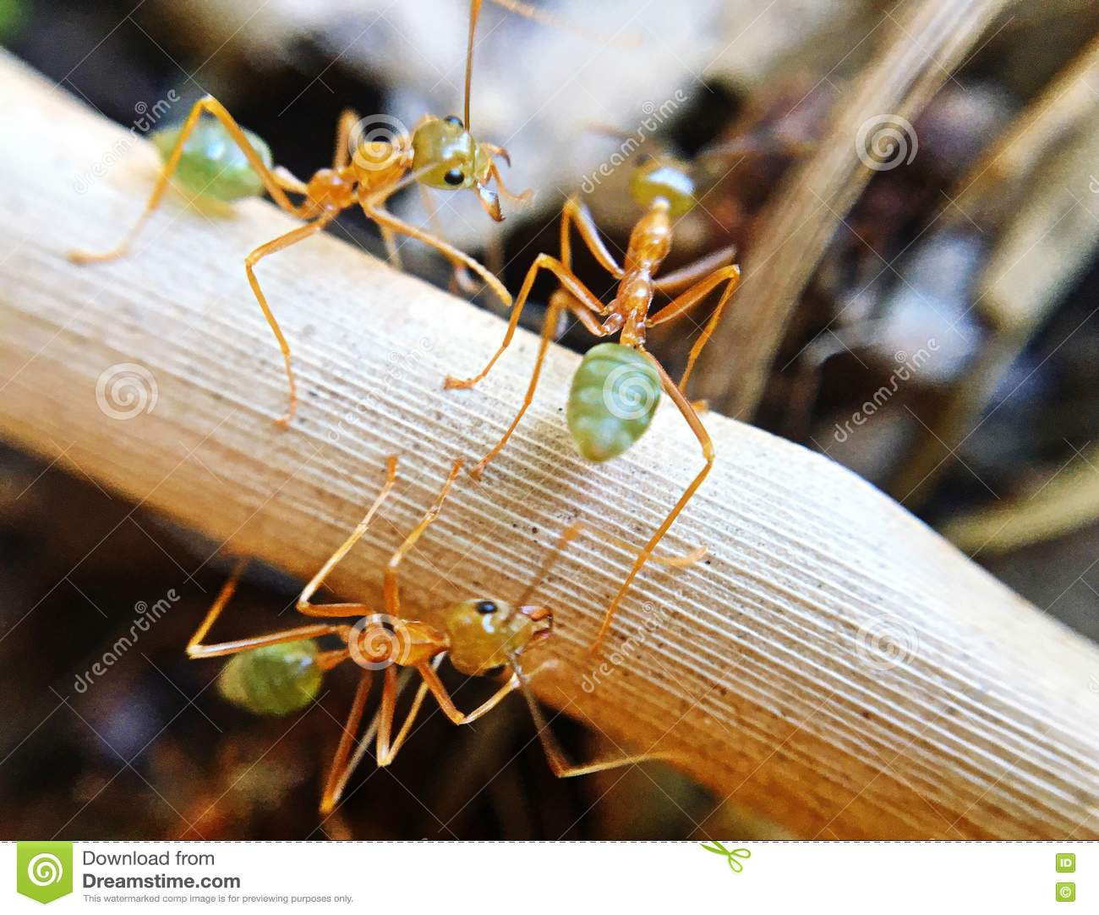 Зеленые муравьи на работе