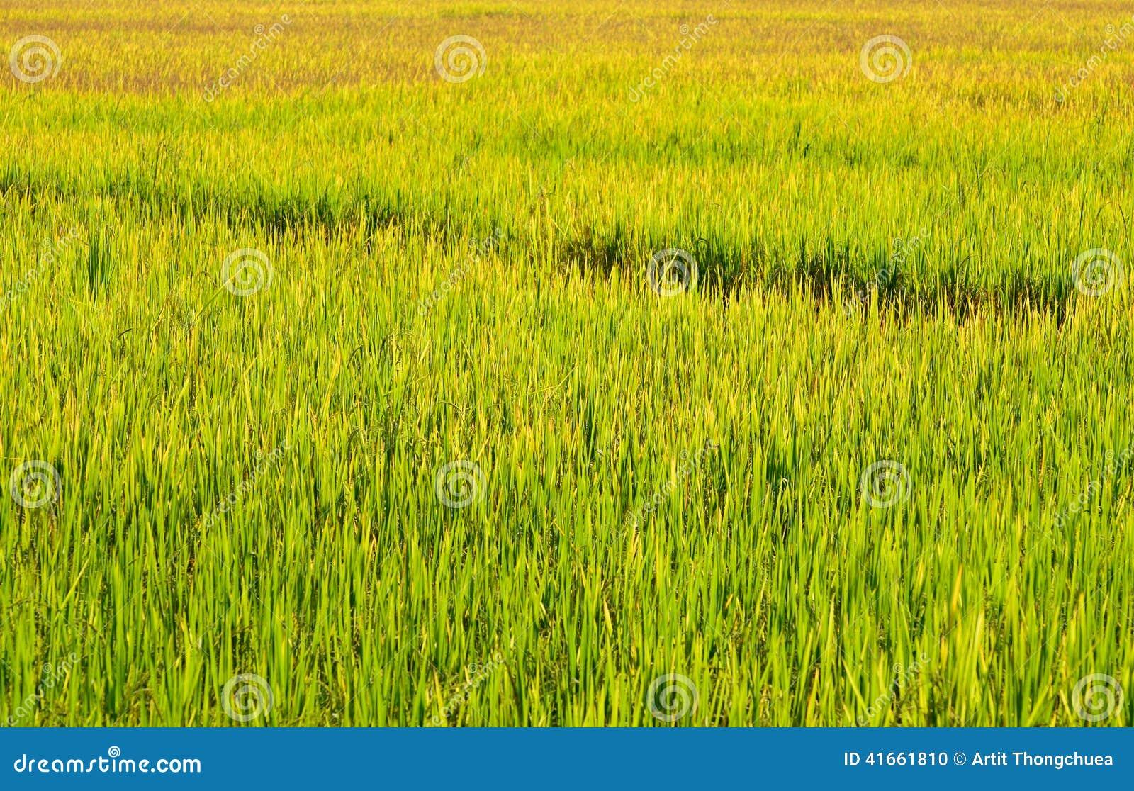 Зеленые поля риса, северные Таиланда