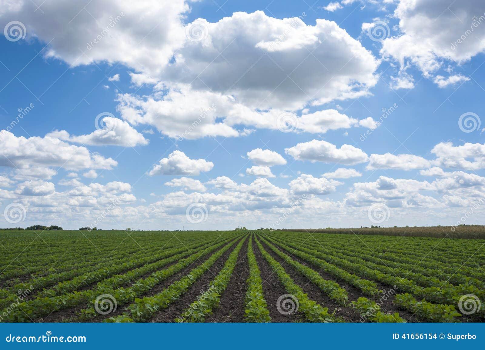 Зеленые поля сои