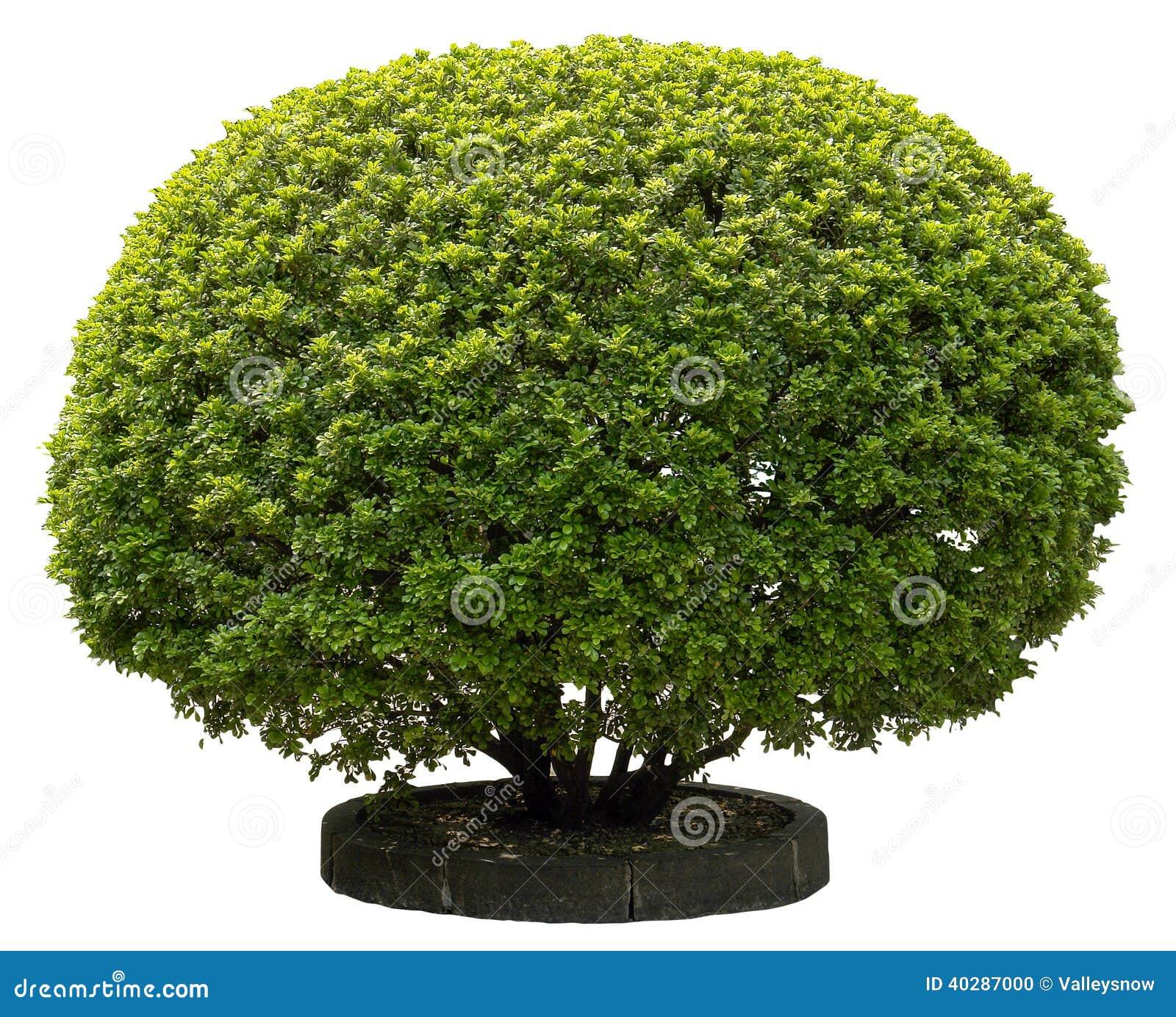 зеленый падуб