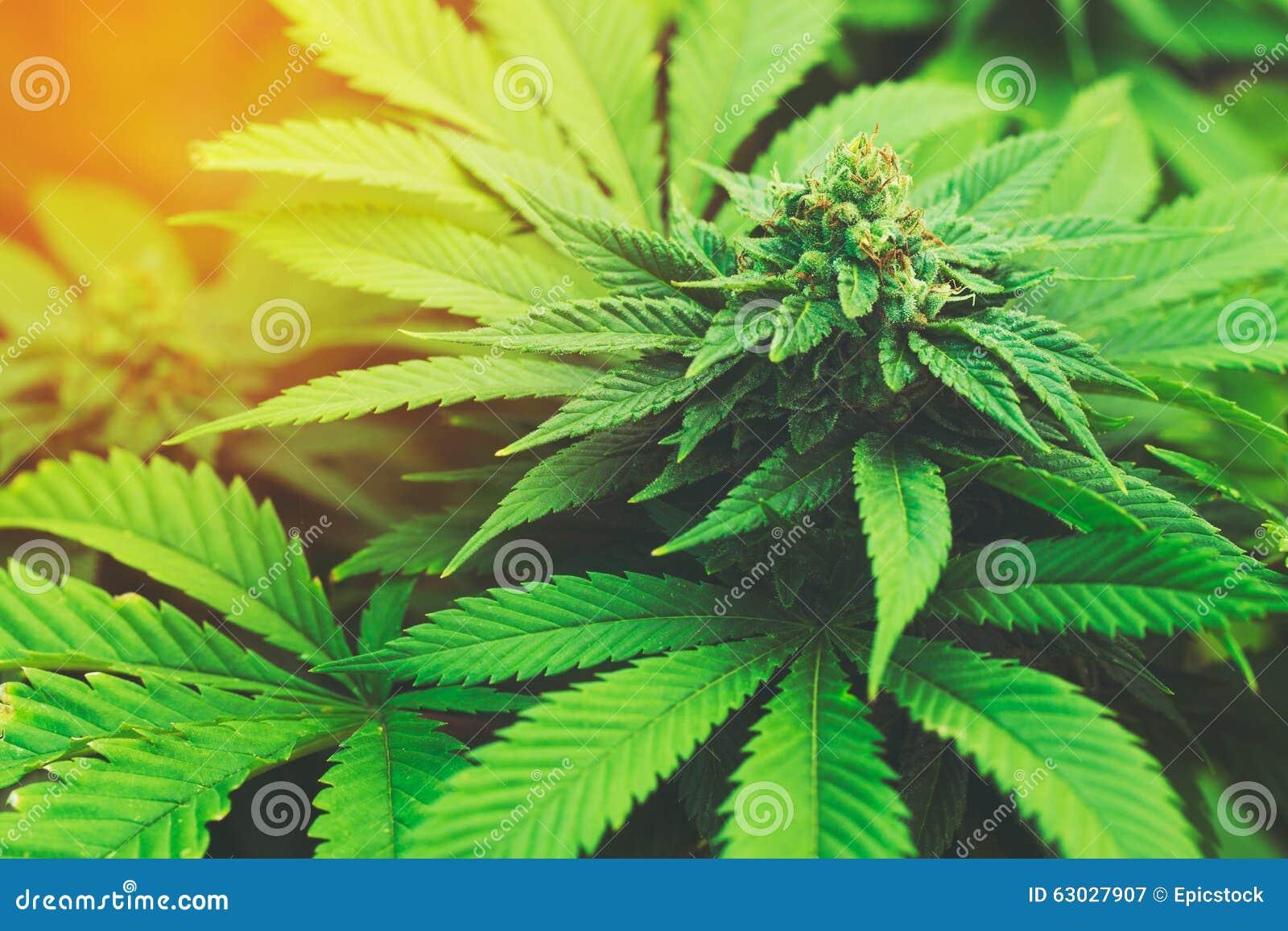 зеленый цвет предпосылки выходит белизна завода марихуаны