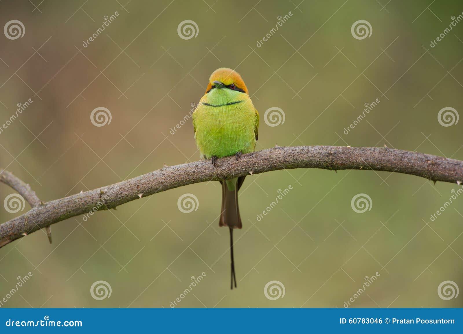 Зеленый Bee-eater