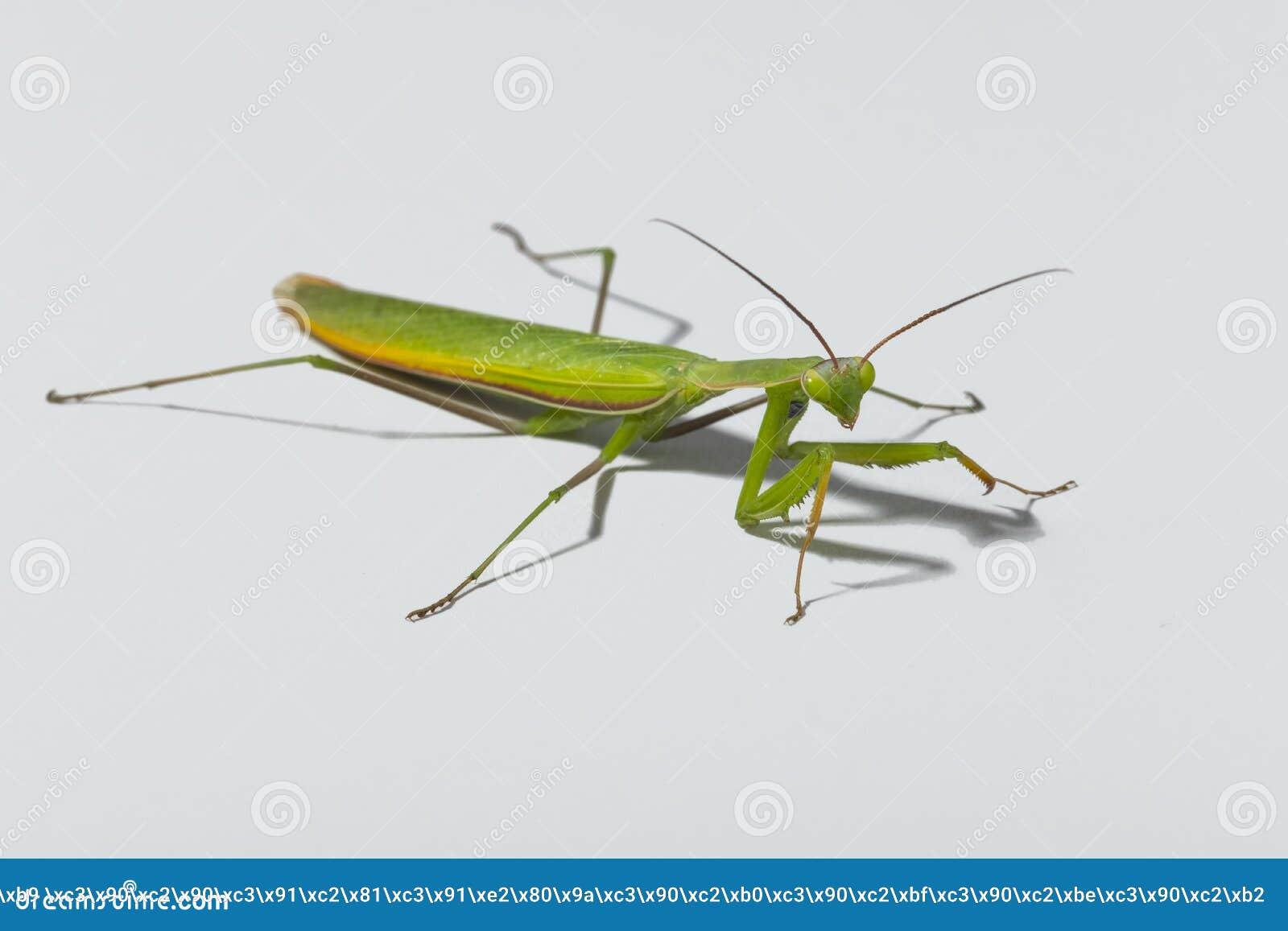 зеленый mantis