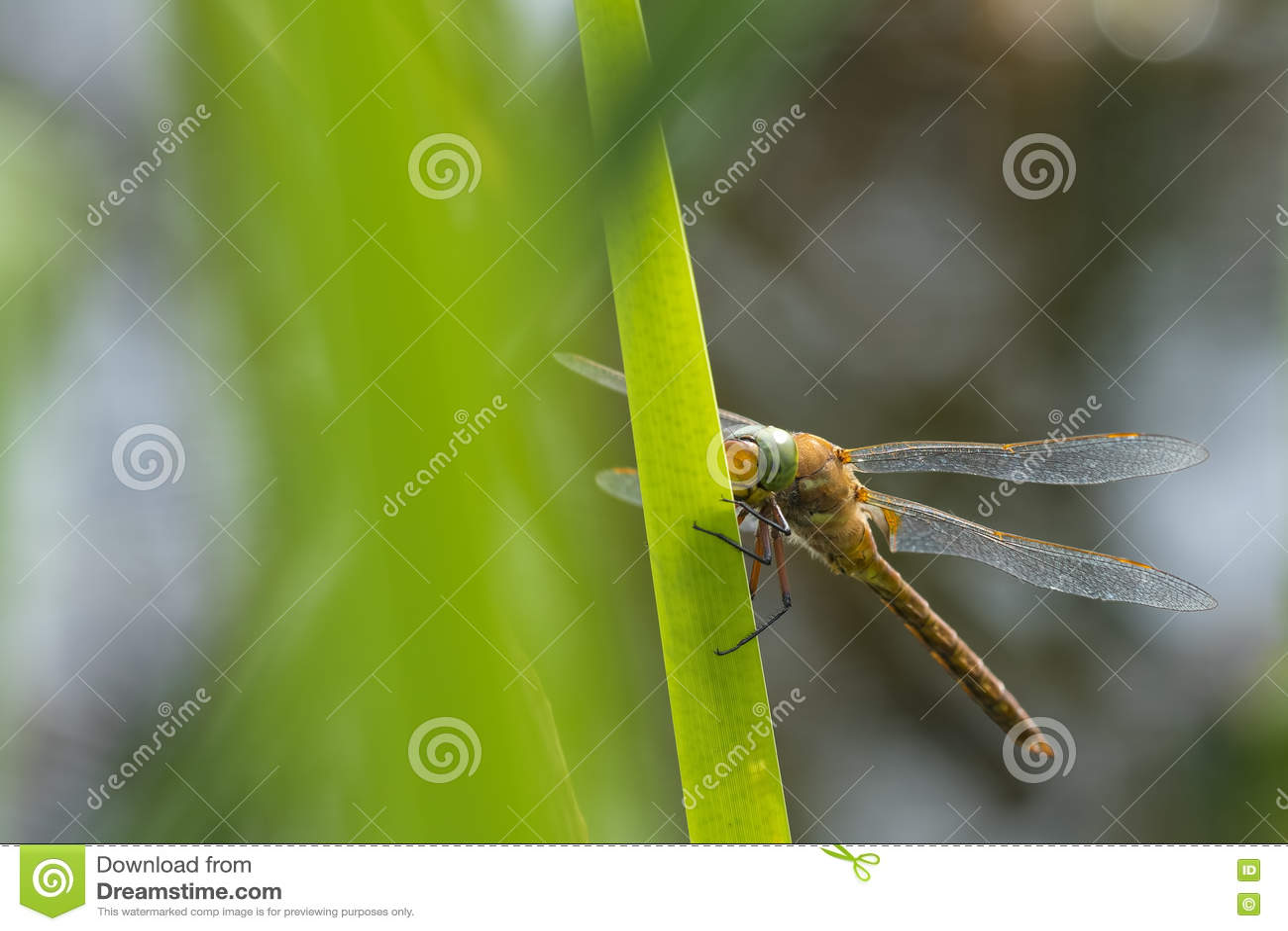 Зелен-наблюданные isoceles Aeshna лоточницы