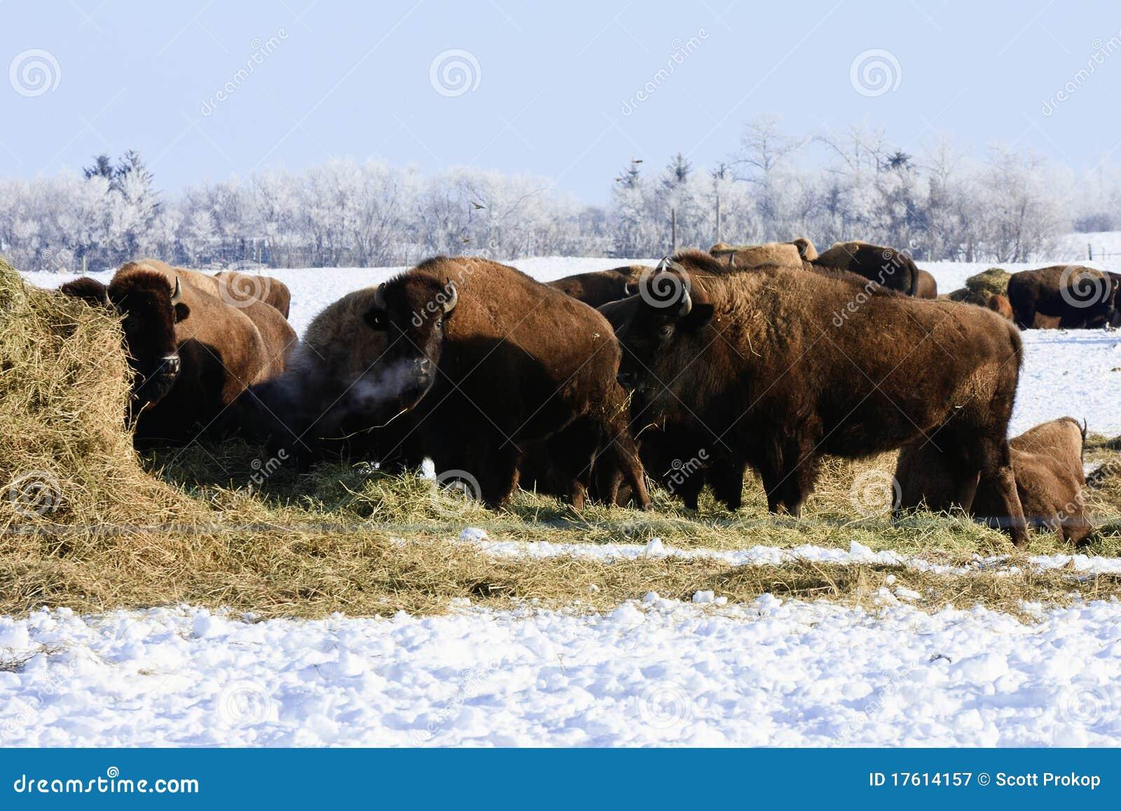 зима буйвола