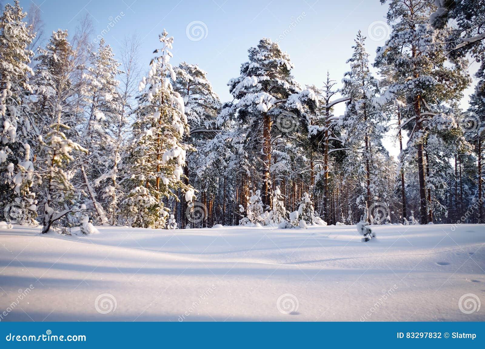 Зима в соснах соснового леса положенных в кожух в снег