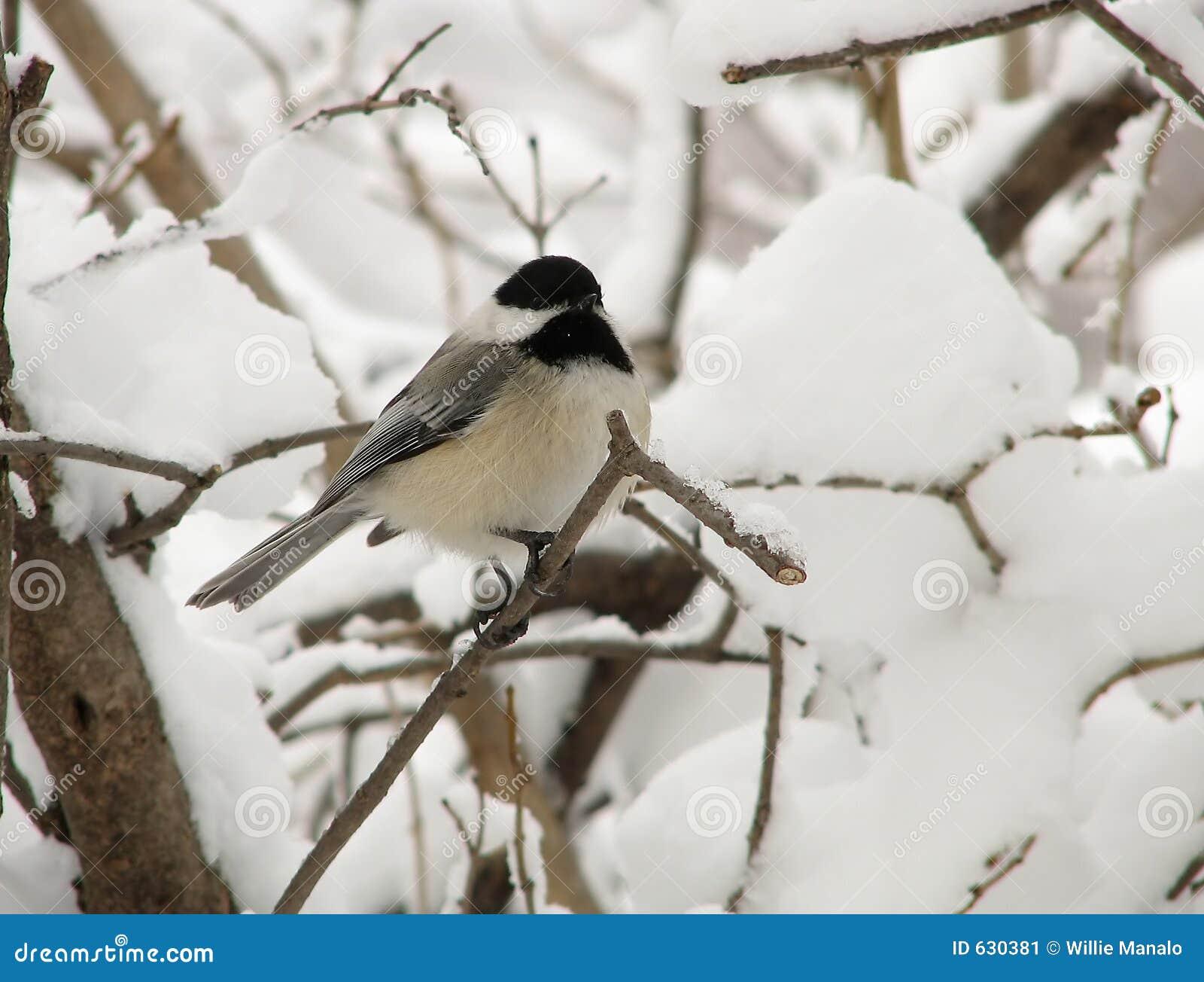 Download зима 2 chickadee стоковое изображение. изображение насчитывающей бело - 630381