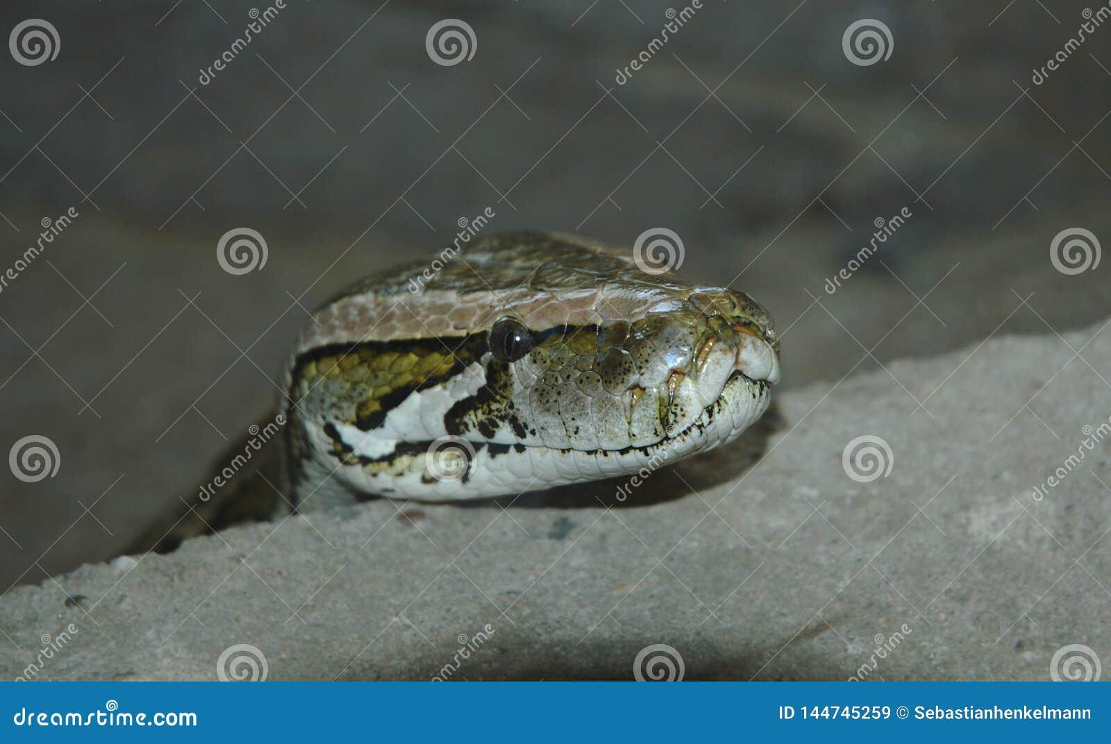 Змейка представляя его главная