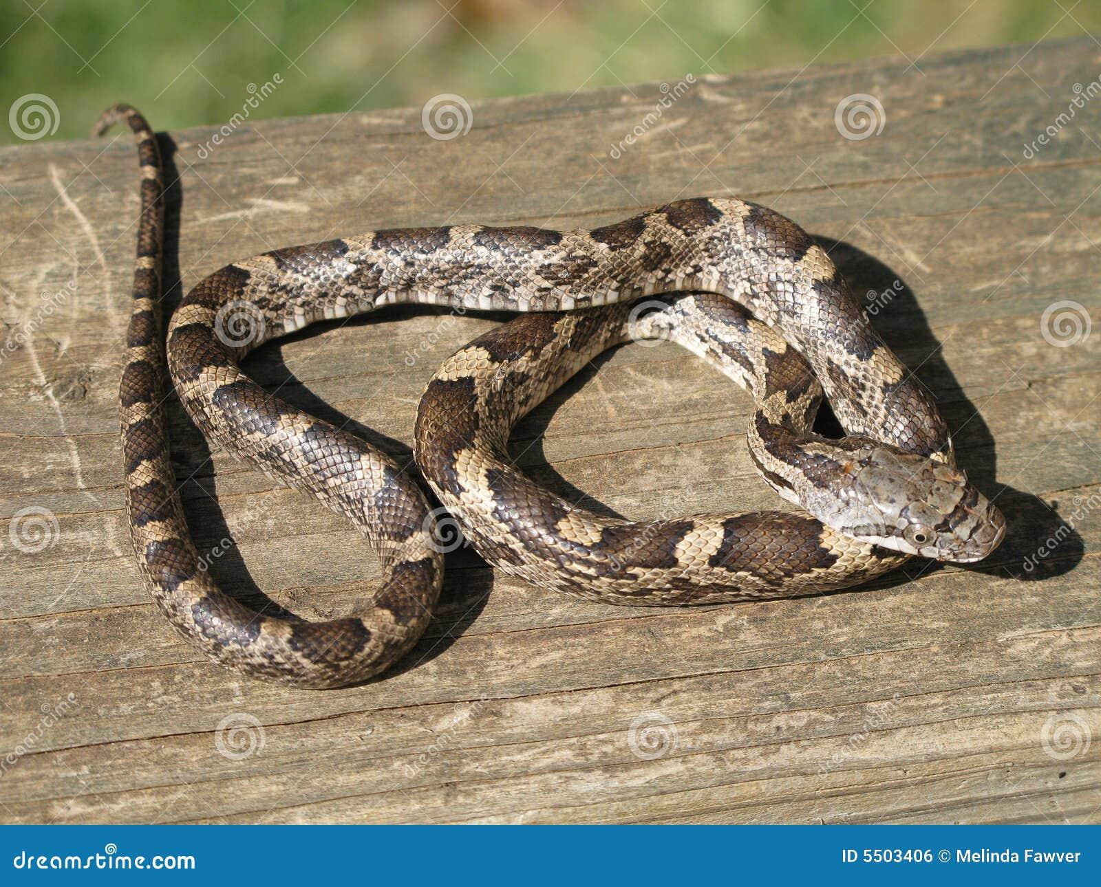 змейка черной крысы