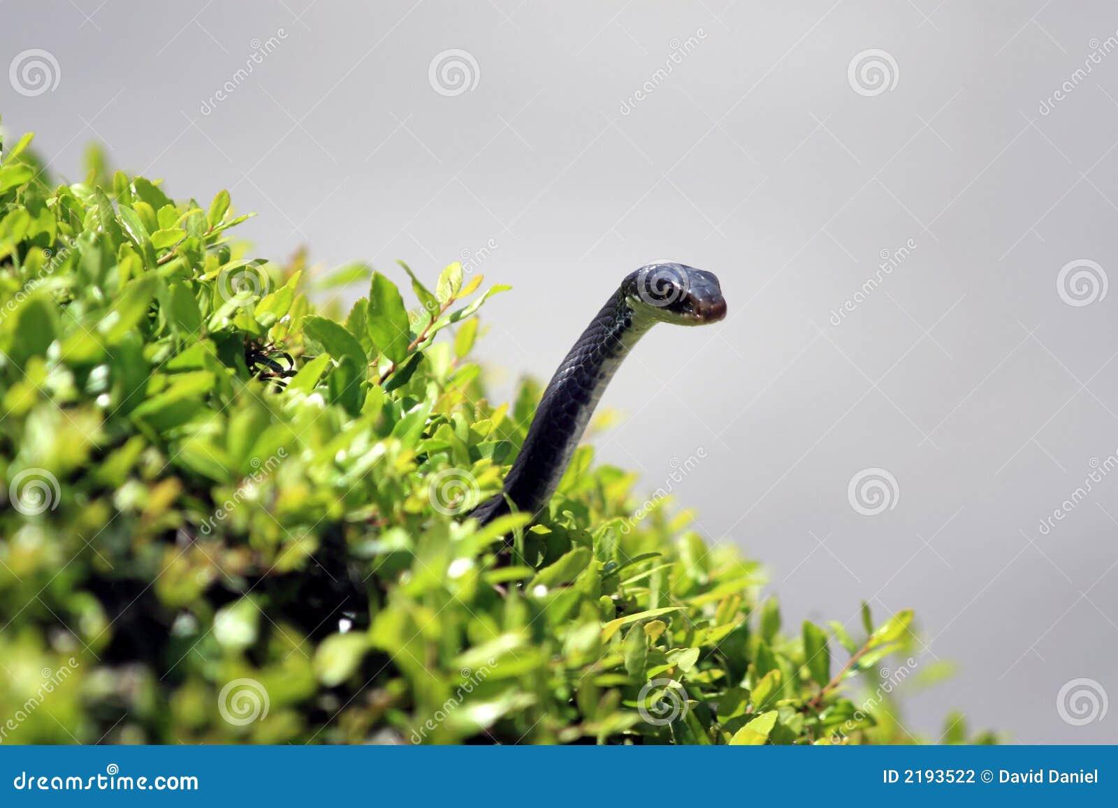 змейка bush