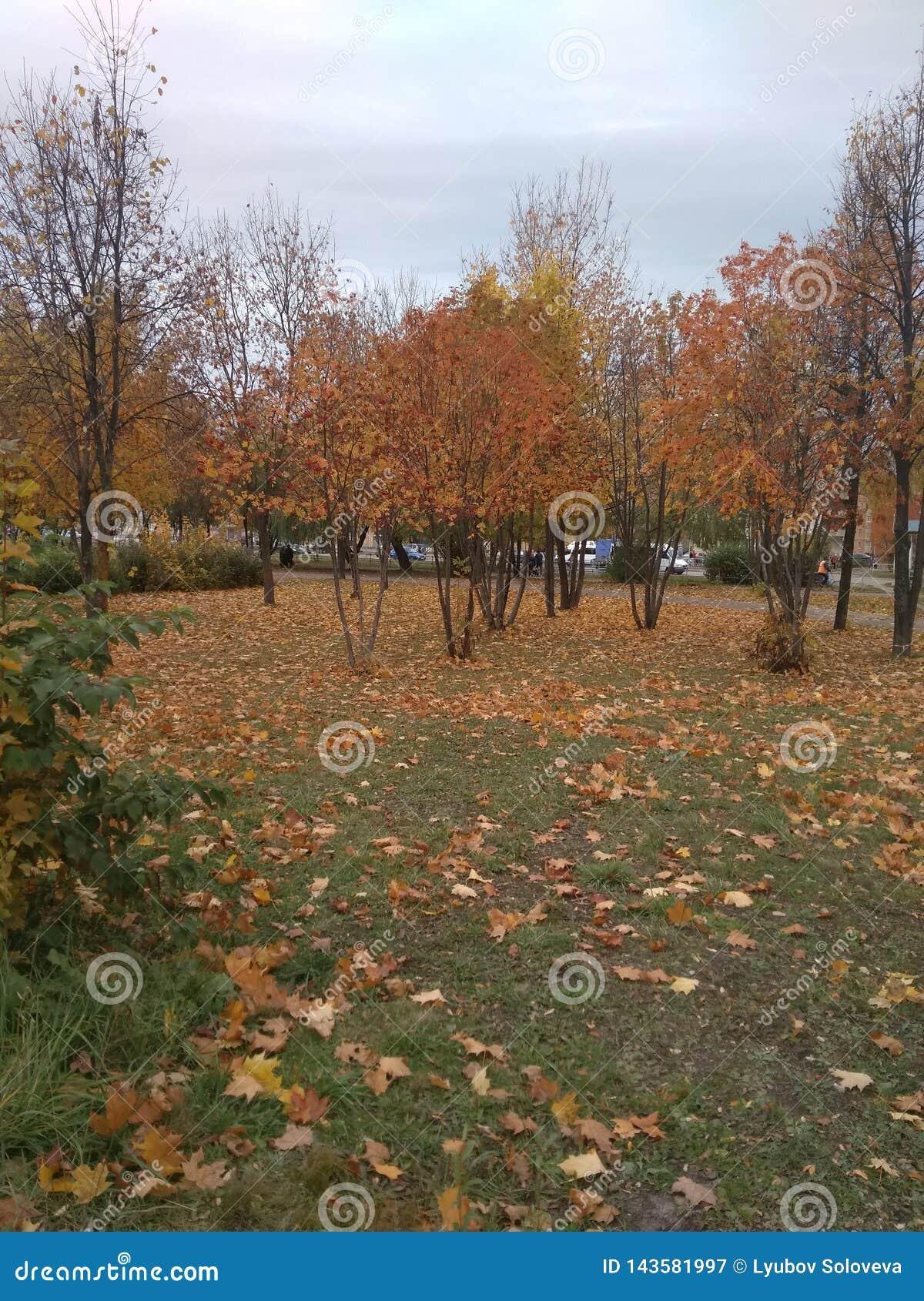 Золотая осень, желтые деревья и упаденные листья