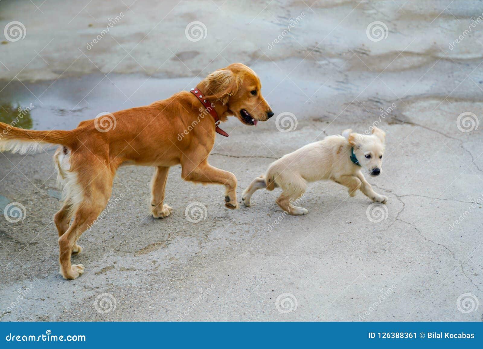 Золотая собака и ход и играть щенка