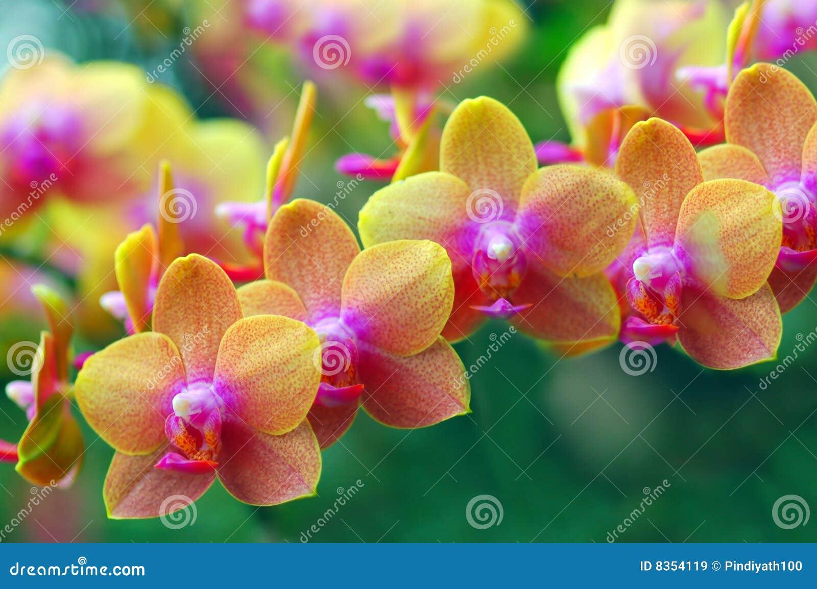 золотистые орхидеи